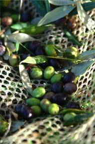 Olives for the olive oil of La Rogaia. Photo: Peter von Felbert, www.felbert.de
