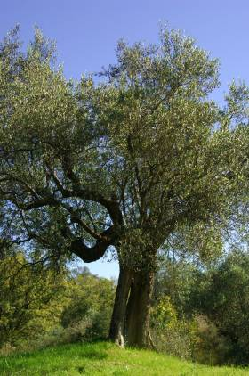 The olive tree is one of the oldest cultivated plants of humanity.