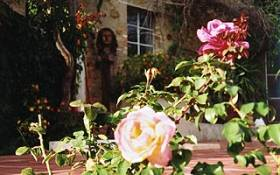 Fragrant roses in the gardens of La Rogaia.
