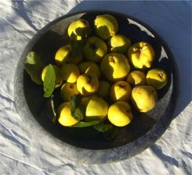 Quints - one of the ancient fruit varieties at La Rogaia