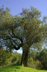 Olive tree in Umbria