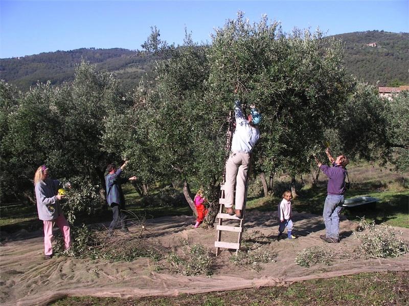 Olive harvest in Umbria - Tuscany, Italy - Agriturismo Villa